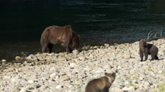 Grizzly Bear Mother with Cub at Eating Salmon at Antarko River Stock Footage