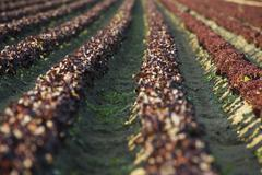 Field of merlot lettuce planted in even rows - stock photo