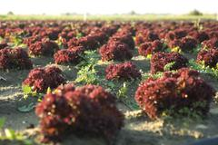 Merlot lettuce growing in field Stock Photos