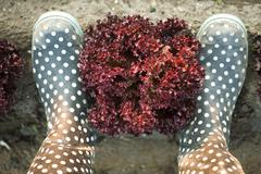 Head of merlot lettuce framed by pair of polka dotted galoshes viewed from above - stock photo