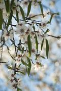 Branch of almond tree in blossom Stock Photos