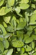 sage leaves, salvia officinalis. - stock photo