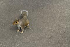 Stock Photo of grey squirrel, gray, sciurus carolinensis, space to right.