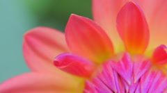 Shallow depth of field video of colorful flower petals close up macro view Stock Footage
