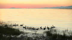 Fraser River Geese Sunset Stock Footage