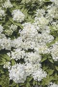 White flowers as background texture Stock Photos