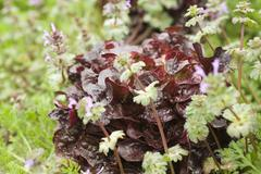Merlot lettuce and herbs growing - stock photo
