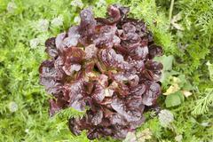Merlot lettuce growing Stock Photos