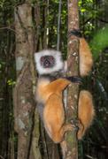 Golden sifaka, dancing lemur of madagascar Stock Photos