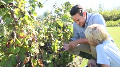 father and child tasting grapes in grapevine rows - stock footage
