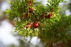 Green twig conifers with cones bathed in the sun Stock Photos