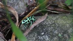 Green and Black Poison Dart Frog 1 Stock Footage