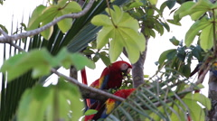 Looking through trees Scarlet Macaw grooming Stock Footage