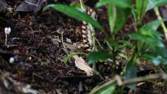 Cyanide poison excreting millipede 1 Stock Footage