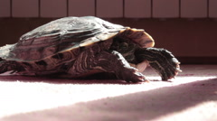 Turtle throw head of shell. Wide shot. Indoor. Carpet. House. Stock Footage