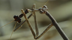 0061 mantis kalahari 3 Stock Footage
