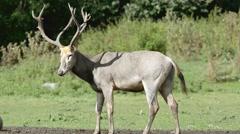 Pere David's deer (Elaphurus davidianus) Stock Footage