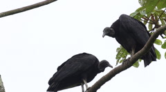 2 Black Vultures  on a branch Stock Footage