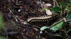 Cyanide poison excreting millipede 2 Stock Footage