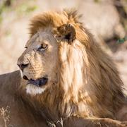 Big male lion rests in Africa - stock photo