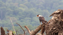 Medium shot of a crested caracara examining its surroundings 2 Stock Footage