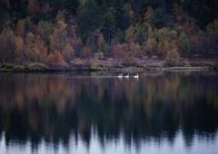 Three Whooper Swans (Cygnus cygnus) on a lake in Finland - stock photo