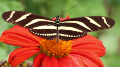 Close up of a Zebra long wing butterfly on flower - stock footage