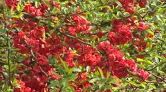 Japanese quince  (Chaenomeles) in bloom - red flowers, full screen Stock Footage