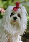 Maltese dog with bow on head - stock photo