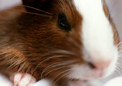 Hamster, extreme close-up. - stock photo