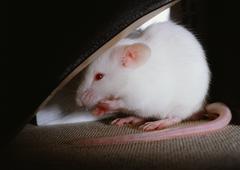 Stock Photo of White rat
