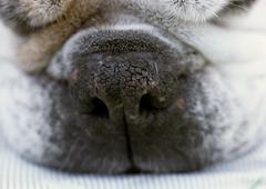 Stock Photo of Bulldog's snout, close up.