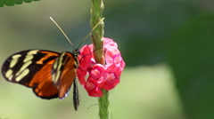 Close up tiger long wing butterfly on flower. - stock footage