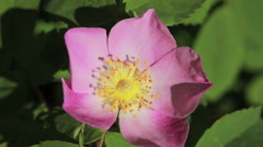Wild rose bush flower - stock footage
