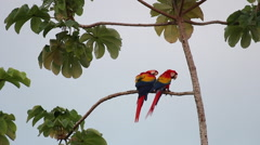 2 Scarlet Macaw s in a tree grooming each other Stock Footage
