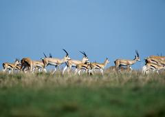 Herd of Grant's Gazelles (Nanger granti) - stock photo