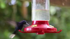 Rack Focus to a Violet Sabrewing hummingbird slow motion Stock Footage