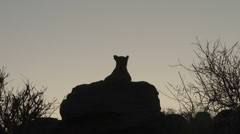 A long shot of a silhouette of a leopard sitting on a rock Stock Footage