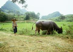 China, Guangxi Autonomous Region, Guilin, man standing behind water buffalo Stock Photos