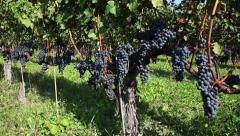 Agriculture field wine vineyard in Piedmont Piemonte Italy Italia Stock Footage