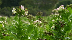 Tobacco Plant 1 Stock Footage