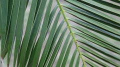 Green leaves of date palm Stock Footage