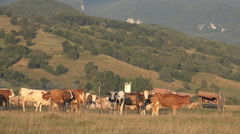 Cows, Sheep Grazing Mountains Field, Pasture, Farming Countryside View in Sunset Stock Footage