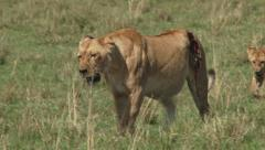A badly wounded lion walking with her cub Stock Footage