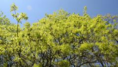 Leafy maple tree branch on blue sky in spring - stock footage
