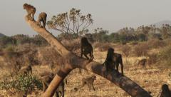 A big family of baboons playing together Stock Footage