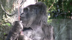 Mountain gorilla close up Stock Footage