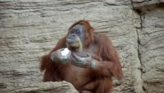 A mature orangutan female, savoring a lump of curd and licking her huge fingers. - stock footage