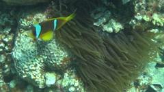 Red sea anemonefish 01 dahab Stock Footage
