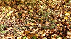 Autumn foliage on the grass and shades of leaves in breeze - stock footage